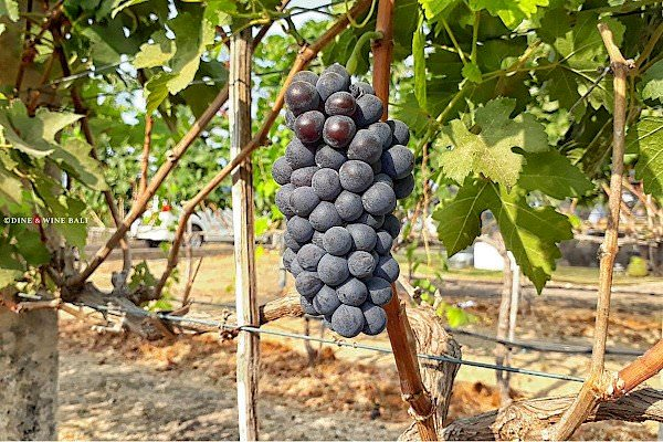 Dine & Wine Bali Restaurant Guide Spotlight Hatten wines syrah first harvest Buleleng north bali indonesia
